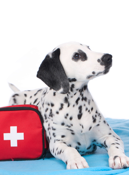 White dog with black spots with an emergency first aid bag